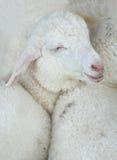 Усмешка младенца овец Стоковые Фото