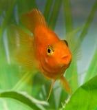 Усмешка попыгая рыб аквариума Стоковая Фотография