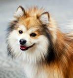 усмешка собаки крупного плана смешная pomeranian Стоковое Изображение RF