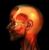 Усмешка 4 мышцы Стоковое Изображение RF