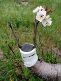 Успешный прививок в ветви вишневого дерева Стоковое Изображение RF
