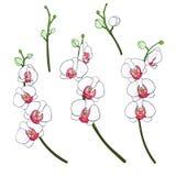 Установите ветви орхидей Стоковое фото RF