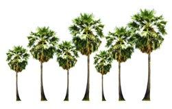Установите дерева Palmsugar изолированного на белой предпосылке стоковая фотография