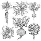 установите овощи Винтажная гравировка бесплатная иллюстрация