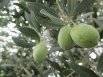 Установите оливки излечивая стоковое фото