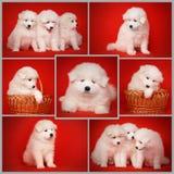 Установите от белых щенят собак Samoyed Стоковые Изображения RF