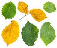 Установите от листьев желтого цвета и зеленого цвета дерева вяза Стоковая Фотография RF