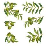 Установите прованских хворостин зеленый на белой предпосылке Ягоды и листья иллюстрация вектора