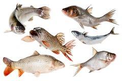 Установите рыб Изолировано на белизне Стоковые Изображения