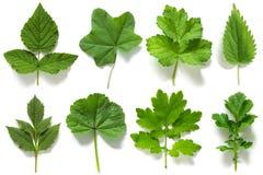Установите, собрание зеленых листьев различных заводов изолированных на белой предпосылке стоковое изображение