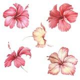 Установите с гибискусом цветков Иллюстрация акварели притяжки руки иллюстрация штока