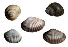 Установите с красивыми seashells реки Предпосылка изолированная белизной с путем клиппирования closeup Отсутствие теней Для конст Стоковое Изображение RF