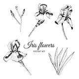 Установите с рукой нарисованный графический эскиз цветков лета iris с листьями и бутоном стоковые фото