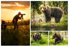 Установите фото большого бурого медведя в природе или в лесе, живой природе, встречая медведя, животное в природе Стоковые Фотографии RF