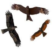 Установите хищные птиц Стоковое фото RF