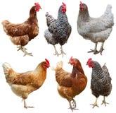 Установите цыпленка изолированного на белой предпосылке стоковое фото rf