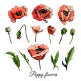 Установите эскиз нарисованный рукой покрашенный при цветки и листья мака изолированные на wh Стоковые Фотографии RF