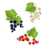 Установите ягоды смородины Стоковые Изображения RF