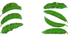 Установите ярких ых-зелен листьев ладони банана тема тропическая Красочный графический дизайн для печати, изображения или открытк стоковая фотография rf