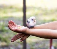 Установка длиннохвостого попугая на руках ` s ребенка Стоковое Изображение