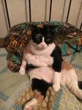 Установка латает кота Стоковая Фотография