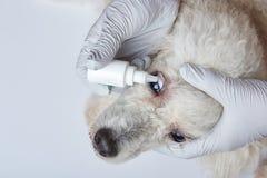 Установка падений глаза в собаке стоковые фотографии rf