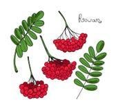Установленное красное дерево рябины Изолированные элементы Rowanberry или ashberry Листья и группа ягоды рябины Завтрак-обед сорб иллюстрация штока