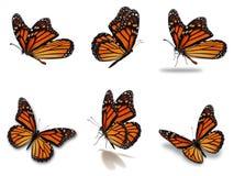 Установленные бабочки монарха Стоковые Фото