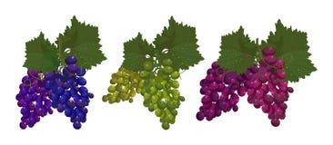 Установленные виноградины изолированными на белом векторе предпосылки иллюстрация вектора