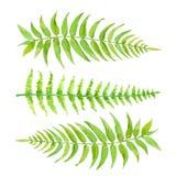 Установленные зеленые листья папоротника Вручите вычерченную экзотическую растительность изолированную на белой предпосылке иллюстрация штока