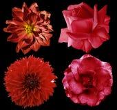 Установленные красные цветки Яркие розы и георгин цветков на черноте изолировали предпосылку с путем клиппирования closeup Отсутс Стоковая Фотография RF