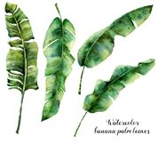 Установленные листья ладони банана акварели Рука покрасила ботаническую иллюстрацию при ветви ладони изолированные на белой предп Стоковая Фотография