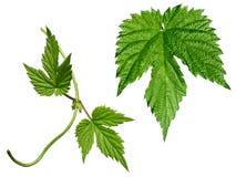 установленные листья хмеля Стоковые Изображения