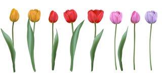 Установленные реалистические тюльпаны вектора, Стоковая Фотография