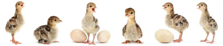 Установленный милый пушистый индюк цыплят изолированный на белизне стоковое изображение