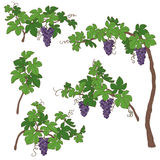 Установленные ветви виноградины Стоковое Фото