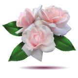 установленные розы Стоковая Фотография