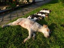 Установленные собаки спать Стоковые Изображения RF