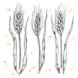 Установленные уши пшеницы вектора нарисованные рукой бесплатная иллюстрация