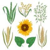 Установленные хлопья Солнцецвет, ячмень, пшеница, рожь, рис и овес Элементы флористического дизайна собрания декоративные иллюстрация штока