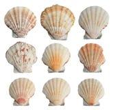 установленные seashells Стоковое Изображение RF