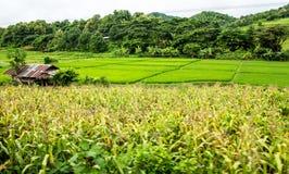 Устойчивый рис и кукурузные поля, Чиангмай Стоковые Фотографии RF