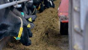 Устрашает подавая процесс на современной ферме Корова на молочной ферме есть сено cowshed видеоматериал