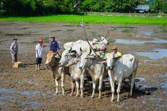 Устрашайте гонки на поле в перепаде Меконга, Вьетнаме риса Стоковое Изображение RF