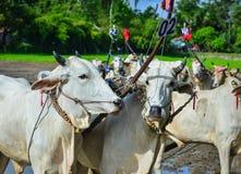 Устрашайте гонки на поле в перепаде Меконга, Вьетнаме риса Стоковые Фото
