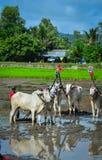 Устрашайте гонки на поле в перепаде Меконга, Вьетнаме риса Стоковое фото RF
