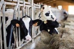 Устрашайте жевать еду на ферме стоковое изображение rf