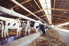 Устрашайте концепцию фермы земледелия, земледелие и поголовье - табун коров которые используют сено в амбаре на молочной ферме стоковое фото rf