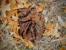 Устрашайте навоз, сухой пирожок коровы на поле леса с листьями, в падении в горы Oquirrh на фронте Уосата в Salt Lake County Юте  Стоковое Фото