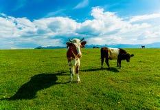 Устрашайте пасти на красивом зеленом луге, с снежными горами в предпосылке стоковое фото
